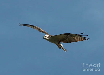 Photograph - Suspended Osprey by Carol Groenen