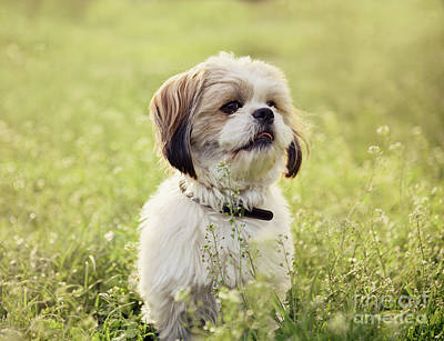 Maltese Photograph - Sute Small Dog by Jelena Jovanovic