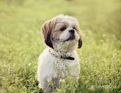 Maltese Dog Photograph - Sute Small Dog by Jelena Jovanovic