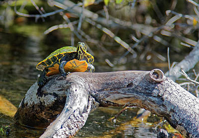 Photograph - Suwannee Cooter Turtle On Branch by Sally Weigand