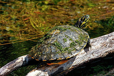 Photograph - Suwannee Cooter Turtle Portrait by Sally Weigand