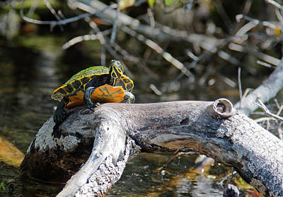 Photograph - Suwannee Cooter Turtle by Sally Weigand