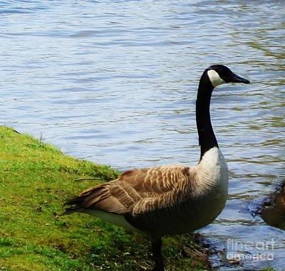 Canadian Geese Digital Art - Suzy Goosey by Marsha Heiken
