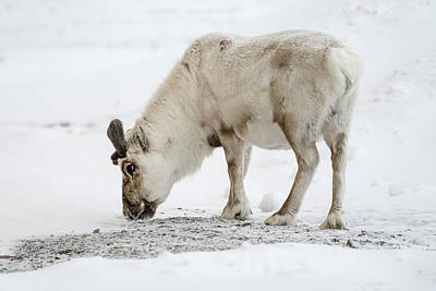 Photograph - Svalbard Reindeer by James Billings