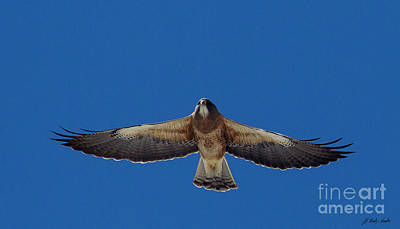 Photograph - Swainson Hawk-signed-#4225 by J L Woody Wooden
