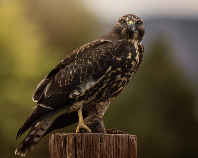 Photograph - Swainson's Hawk by Erica Kinsella
