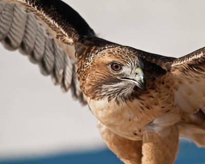 Photograph - Swainson's Hawk Stalker by Harry Strharsky
