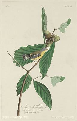 Warbler Drawing - Swainson's Warbler by Dreyer Wildlife Print Collections