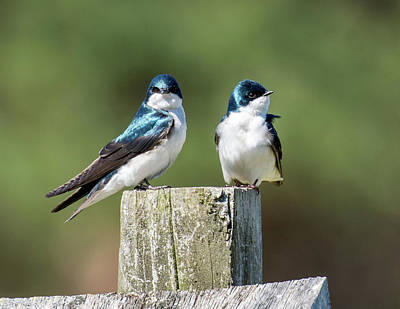 Photograph - Swallow Birds - Mother And Baby 2 by Lilia D