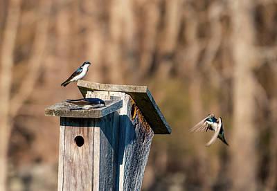 Photograph - Swallow Birds - Nesting Season 2 by Lilia D