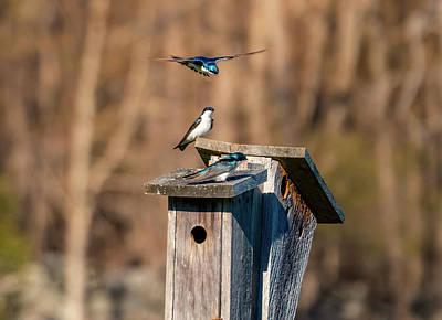 Photograph - Swallow Birds - Nesting Season by Lilia D