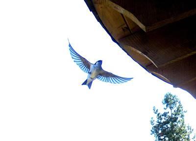 Photograph - Swallow In Flight by Karen Molenaar Terrell