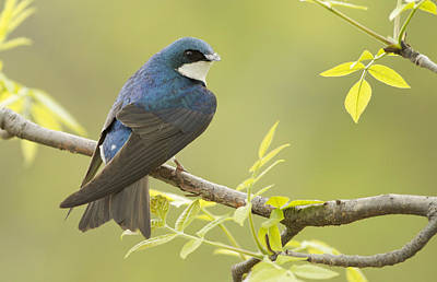 Tree Swallow Photograph - Swallow by Mircea Costina Photography