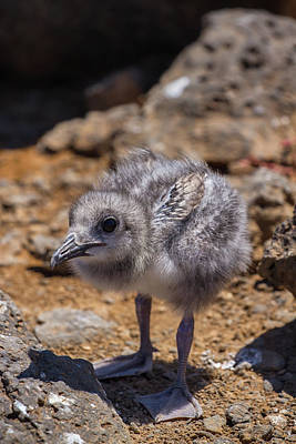 Photograph - Swallow Tail Gull Chick by John Haldane
