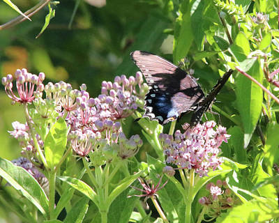 Photograph - Female American Swallowtail Papilio Polyxenes by Captain Debbie Ritter