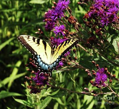 Photograph - Swallowtail On Butterfly Weed by J L Zarek