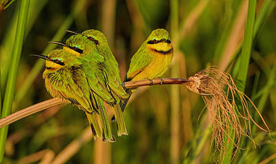 Photograph - Swallow-tailed Bee-eater  by Myer Bornstein