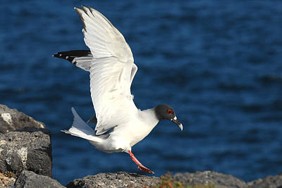 Photograph - Swallow Tailed Gull Landing by Alan Lenk