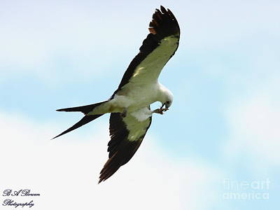 Photograph - Swallow-tailed Kite Eating by Barbara Bowen