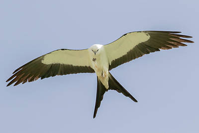 Photograph - Swallow-tailed Kite In Flight by Phil Stone