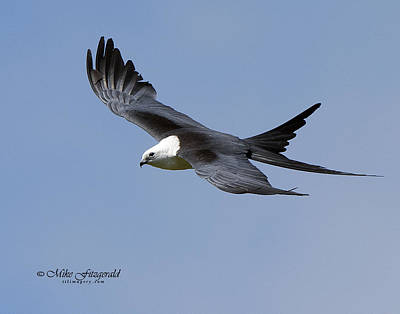 Photograph - Swallow-tailed Kite by Mike Fitzgerald