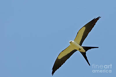 Photograph - Swallow Tailed Kites by Natural Focal Point Photography