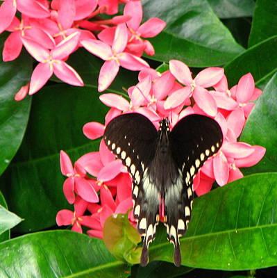 Swallow-wing Butterfly Art Print
