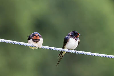 Photograph - Swallows by Wendy Cooper