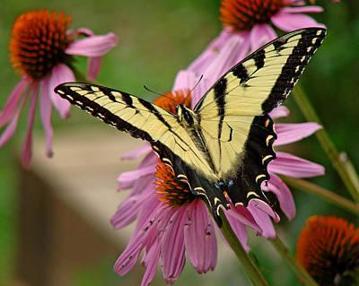 Photograph - Swallowtail 1 Tn by Diana Douglass
