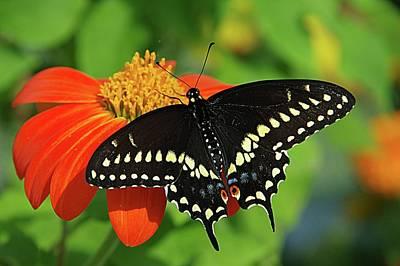 Photograph - Swallowtail #2 by Karen McKenzie McAdoo