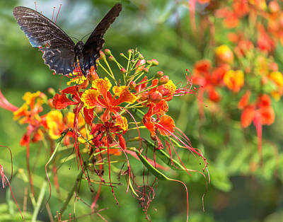 Photograph - Swallowtail 2 by Leticia Latocki