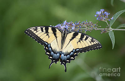 Photograph - Swallowtail 20120723_24a by Tina Hopkins