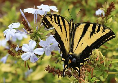 Photograph - Swallowtail - 3 by Christy Pooschke