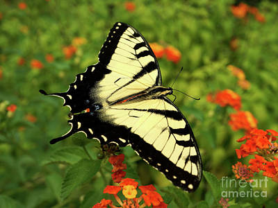 Swallowtail Among Lantana Art Print by Sue Melvin