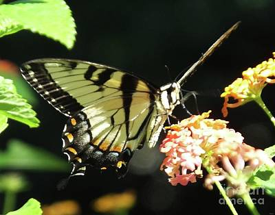 Photograph - Swallowtail Aug 2017 2 by Lizi Beard-Ward