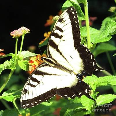 Photograph - Swallowtail Aug 2017 3 by Lizi Beard-Ward