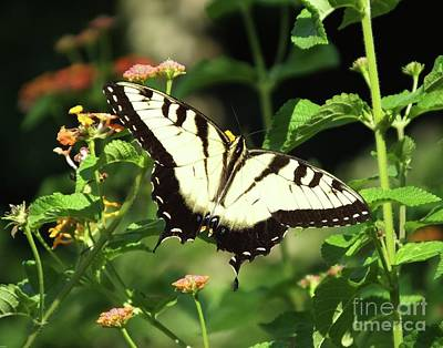 Photograph - Swallowtail Aug 2017 5 by Lizi Beard-Ward