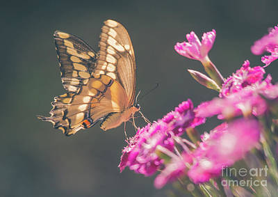 Photograph - Swallowtail Butter Fly On Dianthus by Cheryl Baxter