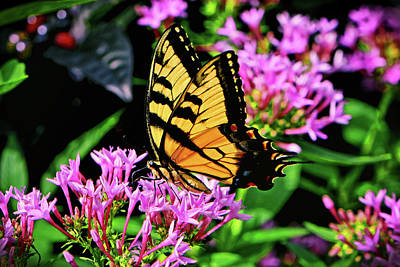 Photograph - Swallowtail Butterfly 030 by George Bostian