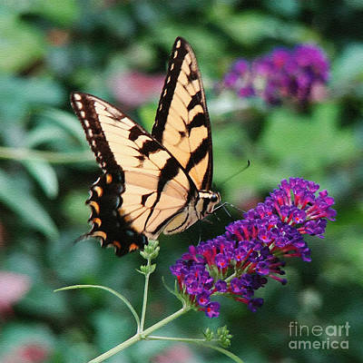 Photograph - Swallowtail Butterfly 1 by Sue Melvin
