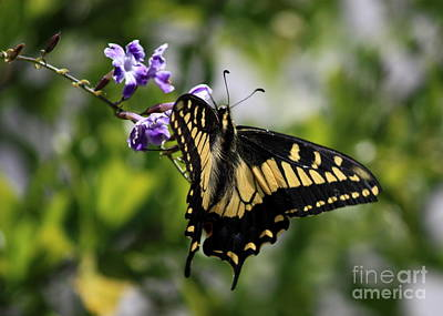 Photograph - Swallowtail Butterfly 2 by Carol Groenen