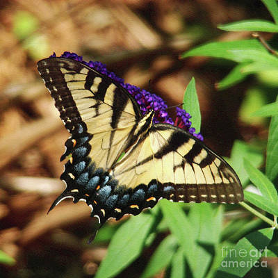 Photograph - Swallowtail Butterfly 2 by Sue Melvin