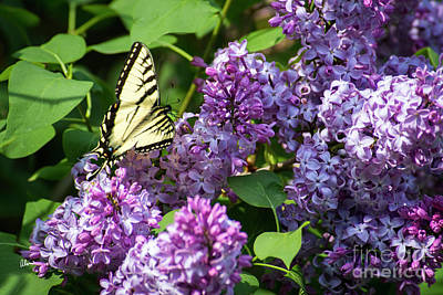 Photograph - Swallowtail Butterfly And Lilac by Alana Ranney