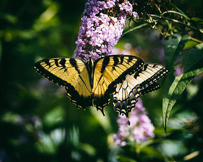 Photograph - Swallowtail Butterfly At The Maryland Zoo by Bill Swartwout