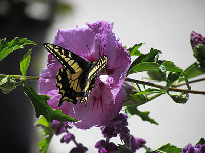 Photograph - Swallowtail Butterfly by Bonnie Muir