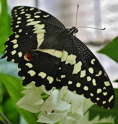 Photograph - Swallowtail Butterfly by Bruce Bley