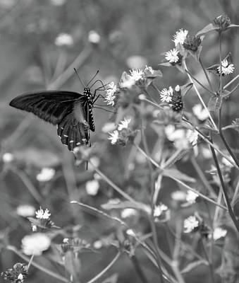 Blue Swallowtail Photograph - Swallowtail Butterfly Bw by Steve Harrington