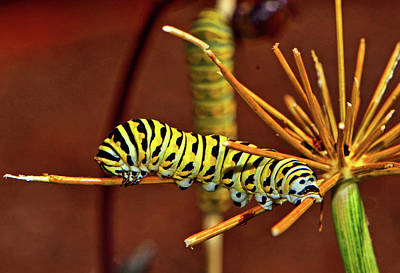 Photograph - Swallowtail Butterfly Caterpillar 015 by George Bostian