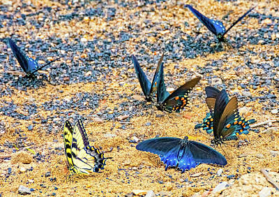 Virginia Butterfly Photograph - Swallowtail Butterfly Convention by Steve Harrington