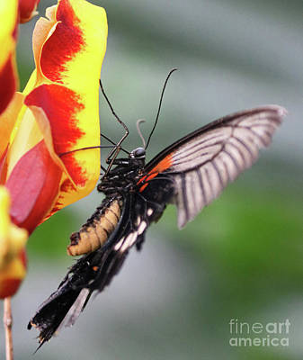 Photograph - Swallowtail Butterfly Detail by Julia Gavin